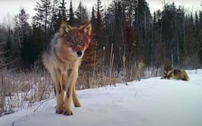 A year in the wild: Trail camera in Minnesota captures 365 days of wildlife