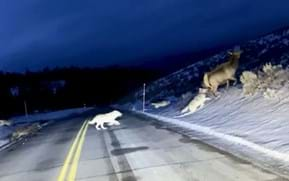Watch: Elk skids across road with Yellowstone wolves in hot pursuit