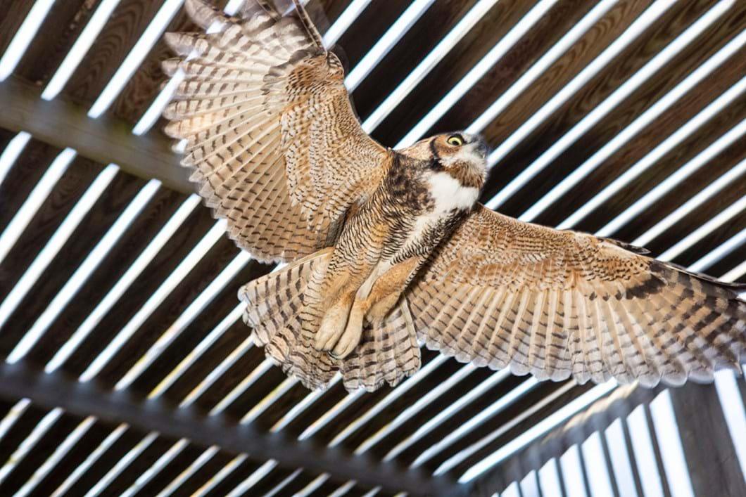 rehabbed-great-horned-owl_2020-01-13.jpg