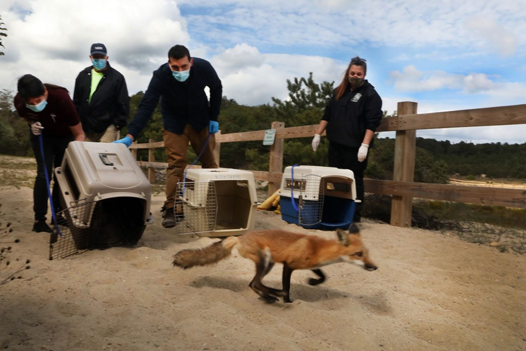 red-foxes-release_2020-01-13.jpg
