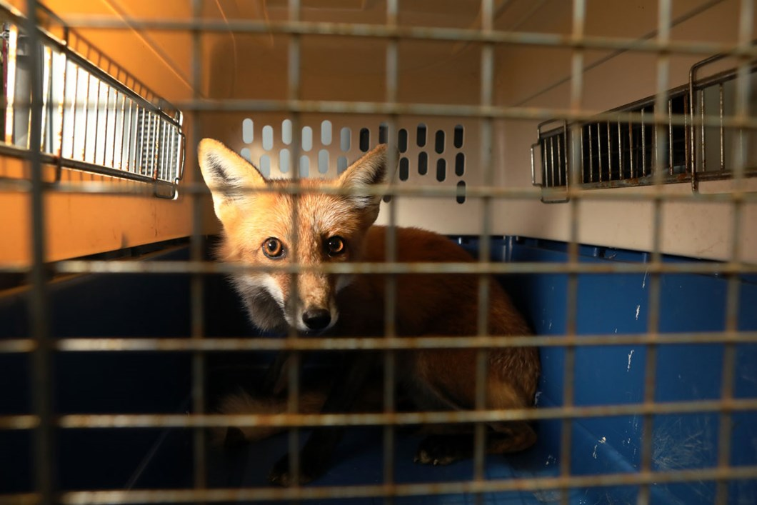 red-fox-awaits-release_2020-01-13.jpg