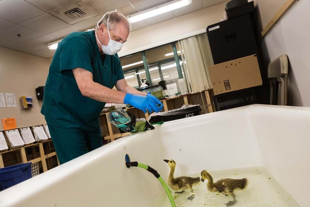 feeding-baby-geese_2020-01-13.jpg