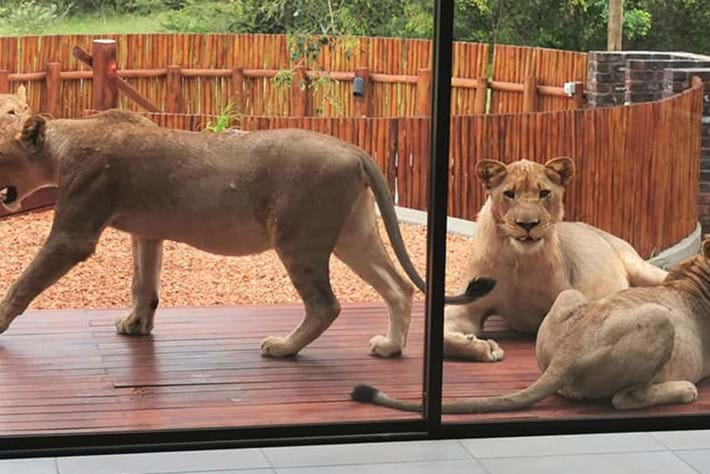 Watch: Lions laze on the patio of unoccupied home at South African game estate