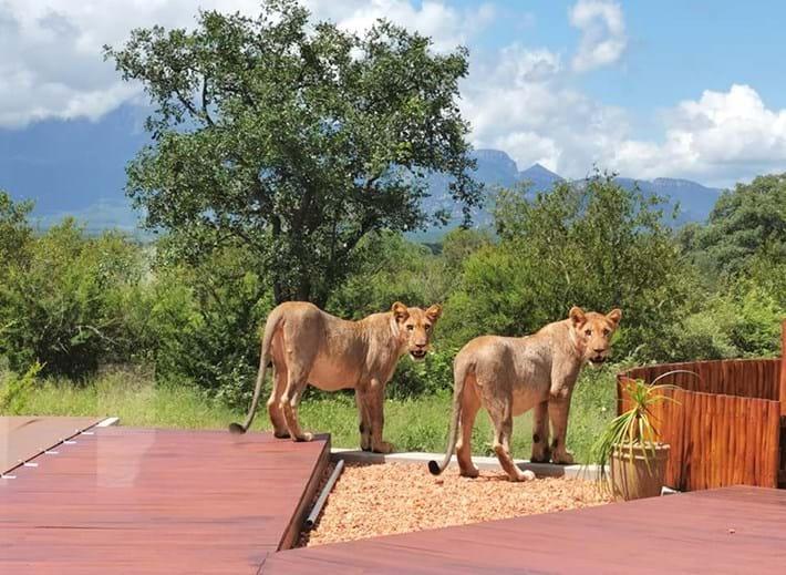 lions-on-patio-2_2021-01-14.jpg