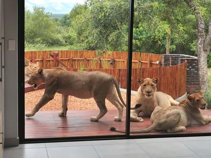 lions-on-patio-1_2021-01-14.jpg