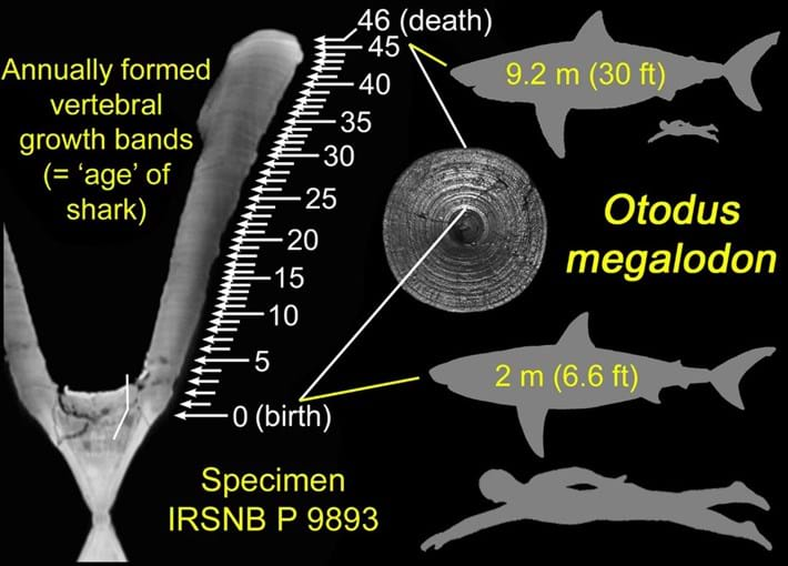 megalodon-babies-illustration_2021-01-15.jpg