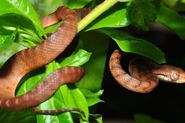 Lasso locomotion: Brown tree snake's remarkable climbing tactic is new to science