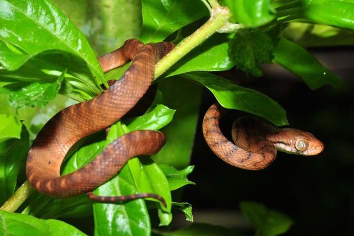 brown-tree-snake_2021-01-19.jpg