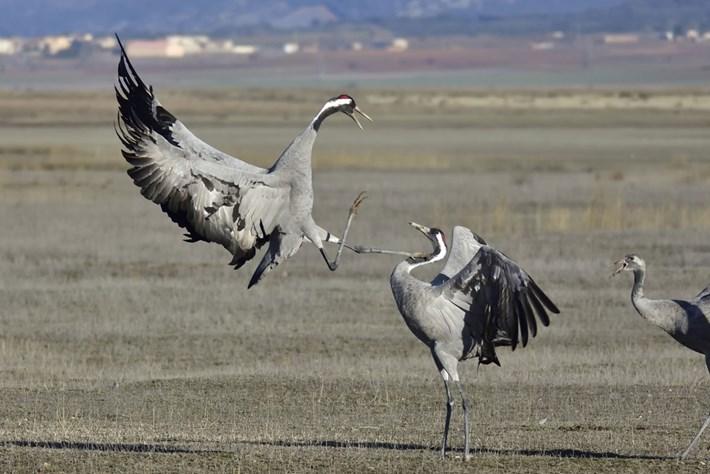 crane-common_2021-02-02.jpg