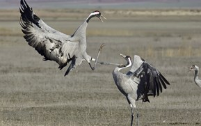 Good news: Britain's wild crane population is on the up