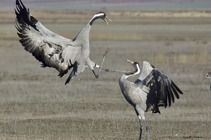 Good news: Britain's wild crane population is on the up