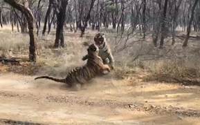 Watch: Tigers tussle for territory in raucous showdown