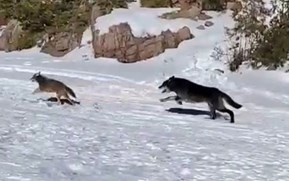 Watch: Wolf in hot pursuit of a coyote sprints straight past fisherman
