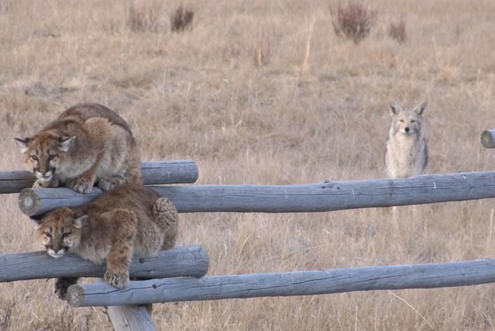 cougar-coyote_2021-02-13.jpg