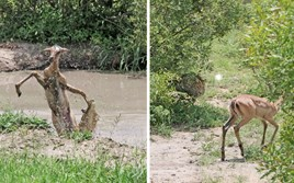 Watch: Impala breaks free from crocodile's jaws only to to ambushed by a leopard