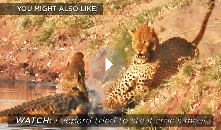 croc-leopard_related_content_2021-02-23.jpg