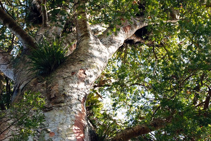 Swamp Sentinels: What we can learn from New Zealand's ancient kauri trees