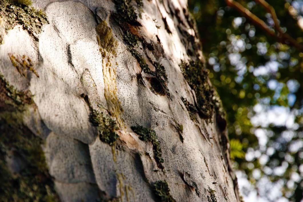 kauri-tree-bark_2_2021-02-23.jpg