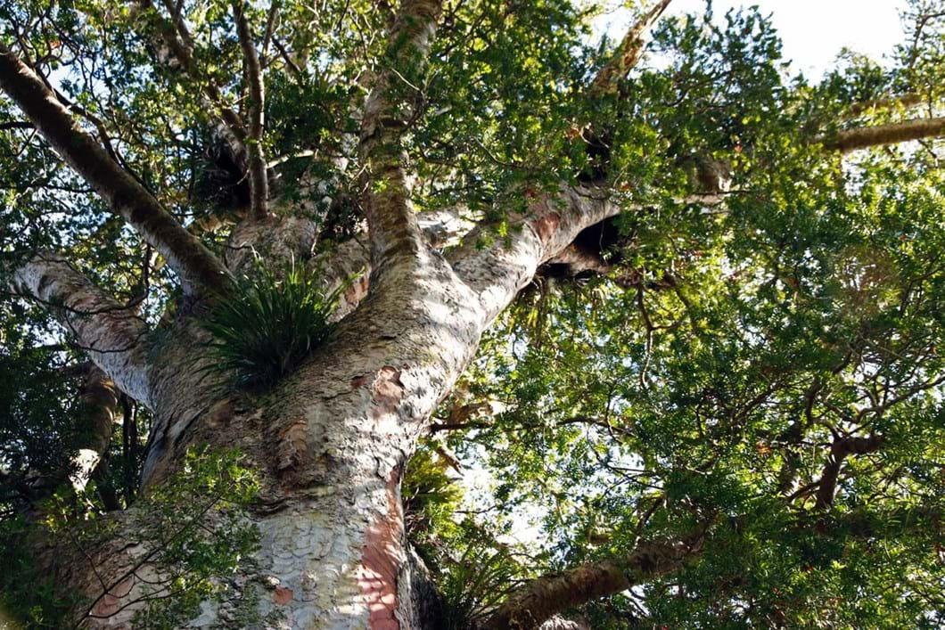 kauri-tree_2021-02-23.jpg