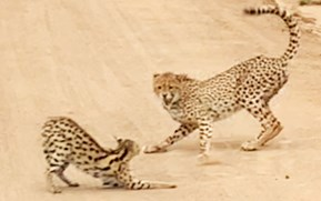 Cat fight: Serval holds its own in a showdown with a cheetah