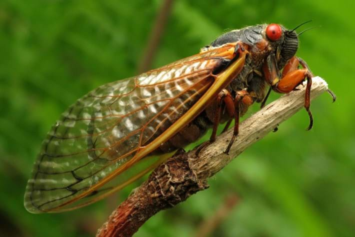 Billions of cicadas may be coming soon to trees near you