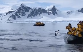Watch: Penguin narrowly escapes orca attack by leaping into tourist boat