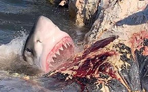 Watch: Floating whale carcass becomes all-you-can-eat buffet for great whites and other sharks