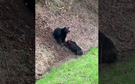 Watch: Bear's almighty battle to bring down an adult feral hog