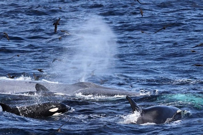 In Photos: Huge group of orcas take down blue whale in dramatic hunt