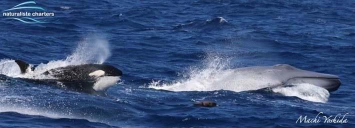 blue-whale-orcas-bremer-bay_10_2021-04-13.jpg