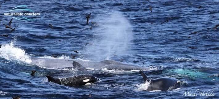 blue-whale-orcas-bremer-bay_2_2021-04-13.jpg