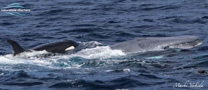 blue-whale-orcas-bremer-bay_3_2021-04-13.jpg