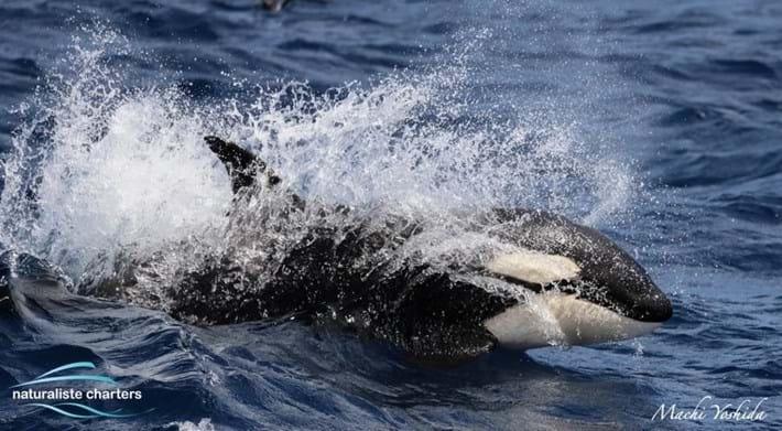 blue-whale-orcas-bremer-bay_7_2021-04-13.jpg