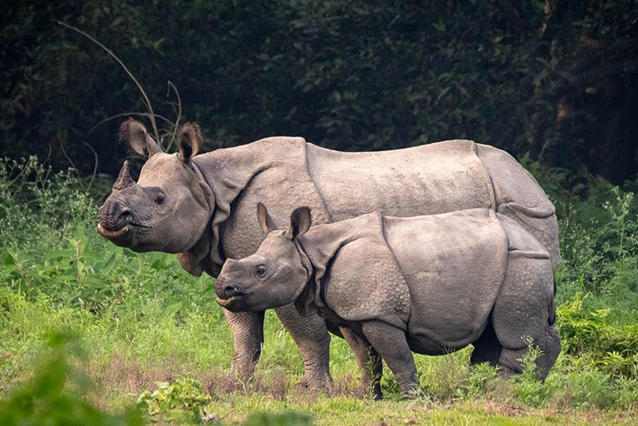 Good news: Nepal's rhino numbers on the rise