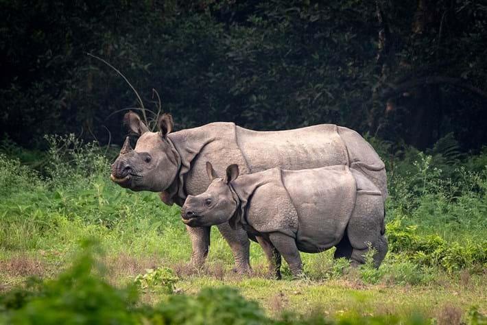 Greater_one-horned_rhinoceros_at_Chitwan_2021-04-15.jpg