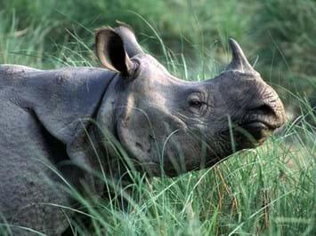 Greater_One_Horned_Rhino_2021-04-15.jpg