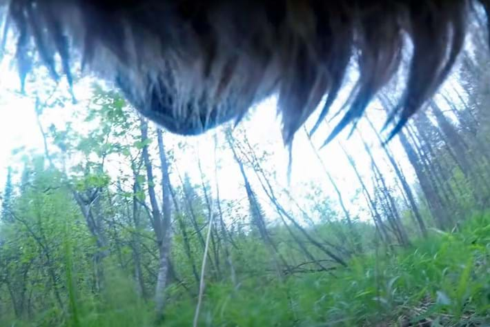 This collar-cam lets you watch a wolf doing wolf things