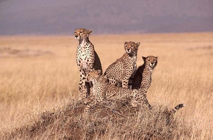 cheetahs_2021-04-21.jpg