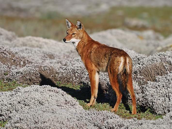 Ethiopian-wolf_2021-04-22.jpg