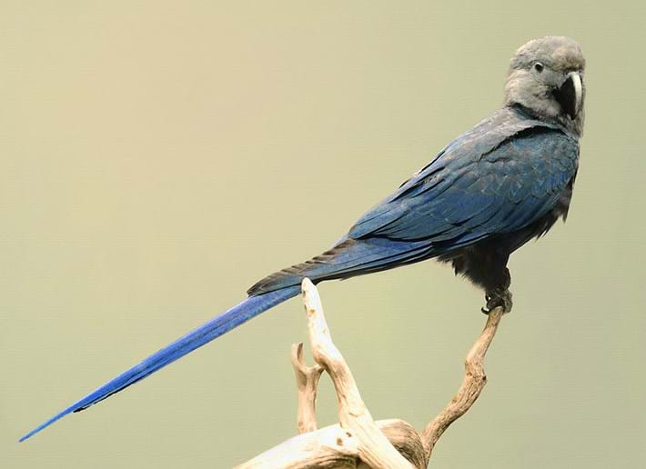 Spix-macaw_2021-04-22.jpg