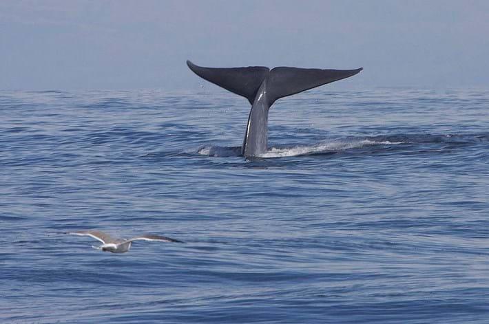 Blue_Whale_2021-04-22.jpg