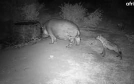 Live cam captures bold hyenas hassling a hippo