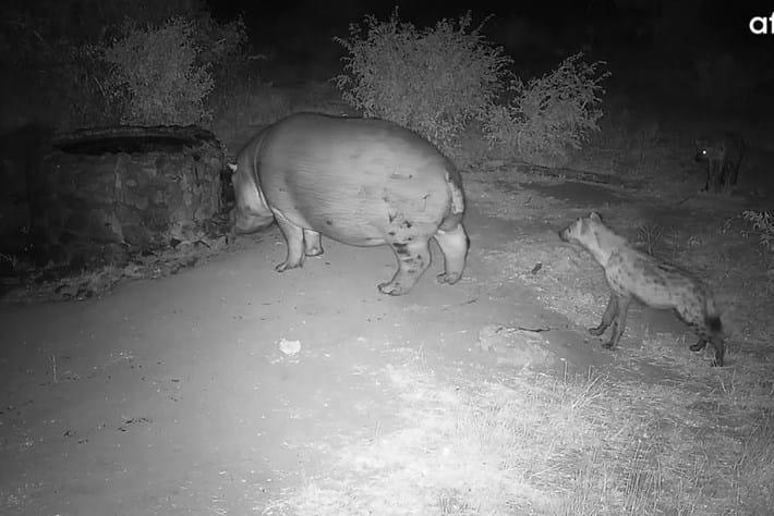 hyenas-hippo_page_2021-04-28.jpg