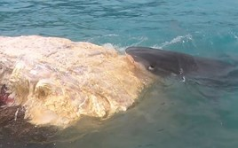 Watch: Sharks tuck into whale-sized meal in Hawaii