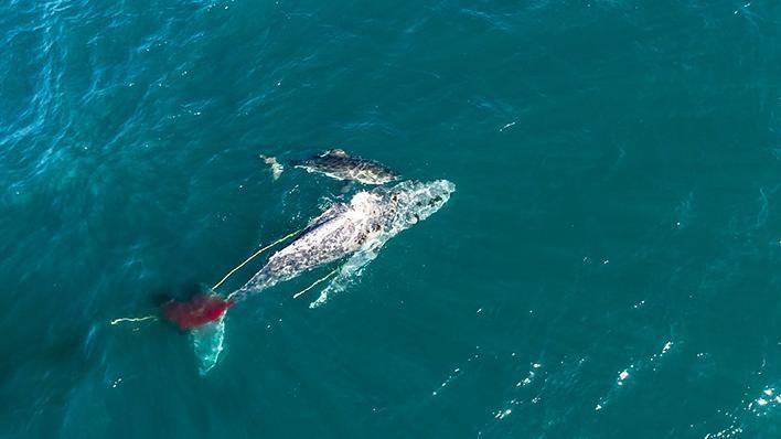 shark-attacking-whale_2021-04-30.jpg