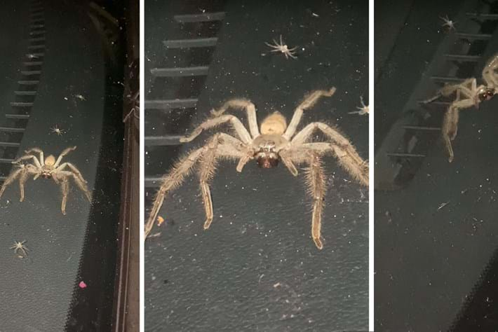 Watch: Car taken over by huntsman spider and her brood