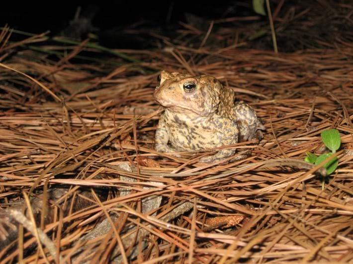 houston-toad_2021-05-21.jpg