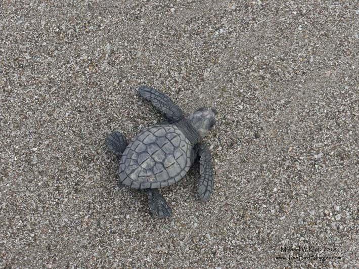 olive-ridley-turtle_2021-05-21.jpg