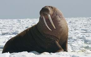 Wally the wandering Walrus (and other wild animals that wound up a long way from home)