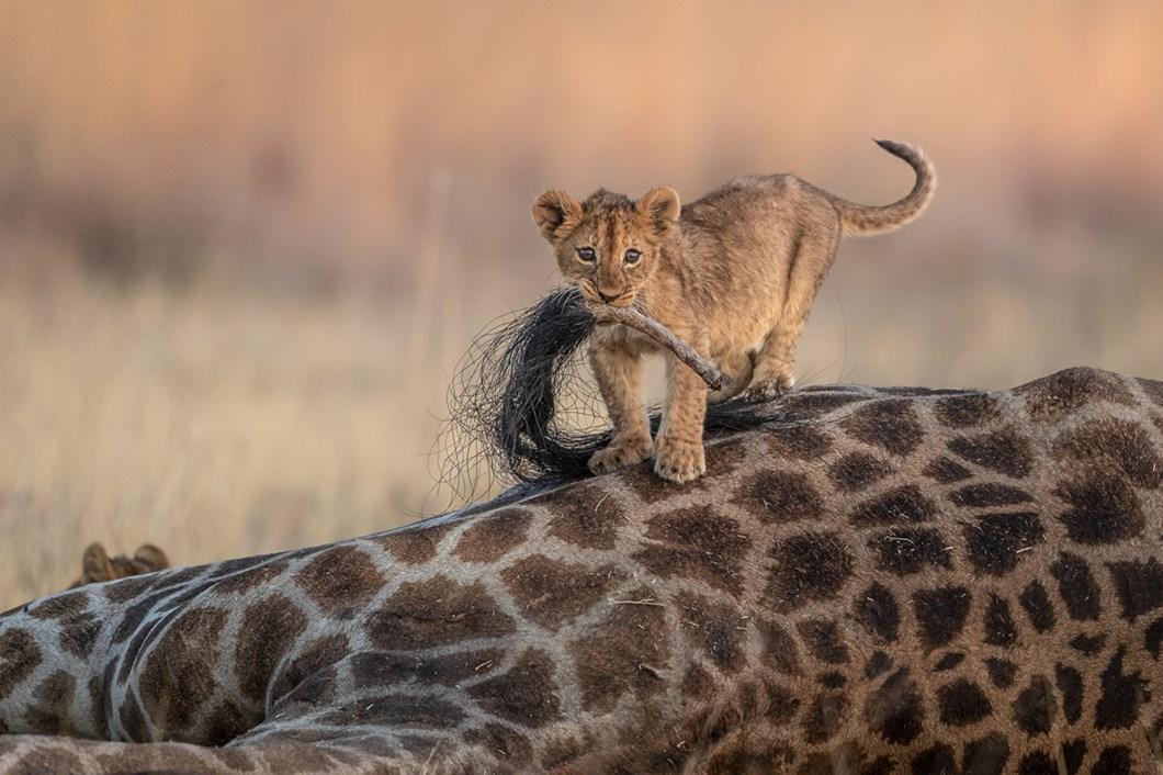 Charl-Stols-lion-cub-giraffe_2021-06-05.jpg